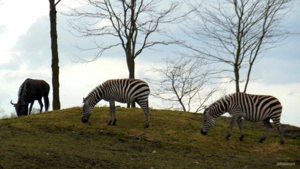 HD wallpaper zebras under the trees