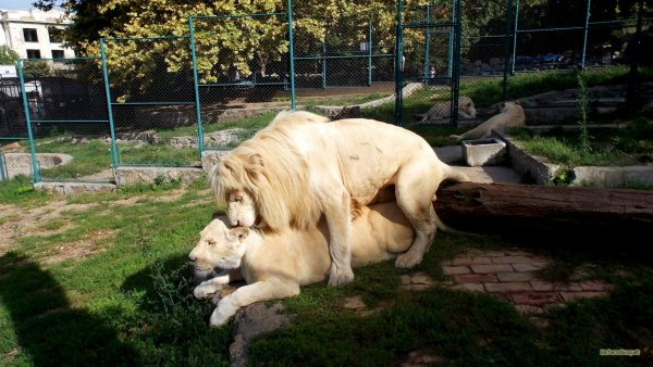 White lions mating in Belgrade zoo