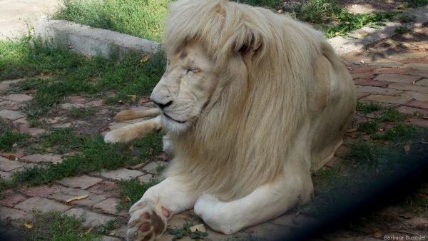 White lion resting in the zoo