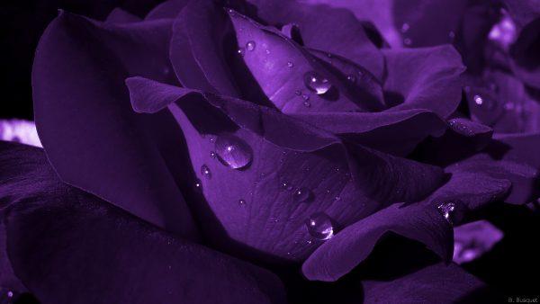 close up dark purple rose