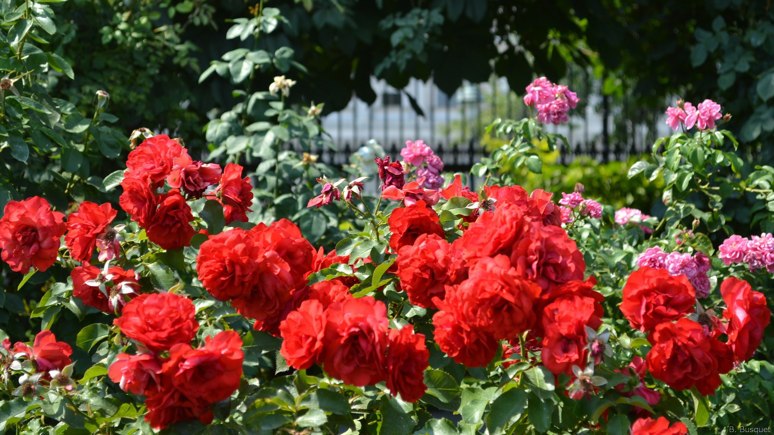 Different Rose Bushes
