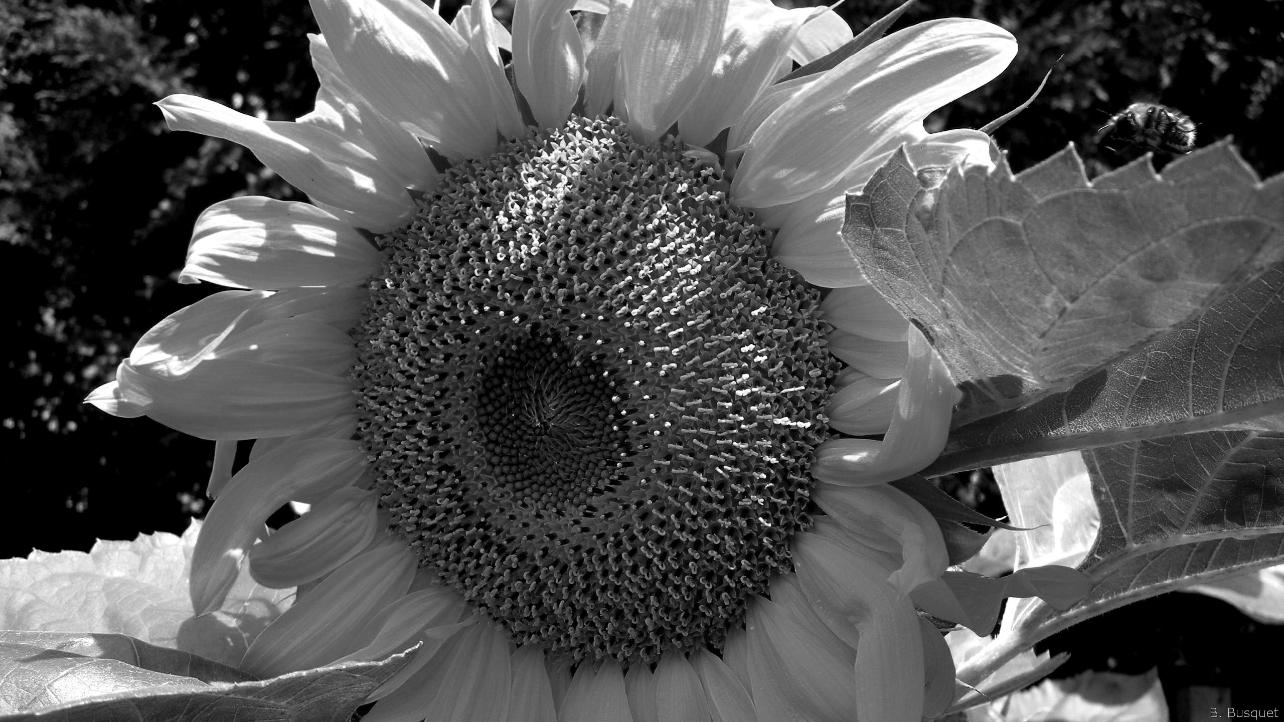 Black White Paisley Pattern Wallpaper Sunflower In The Back Yard