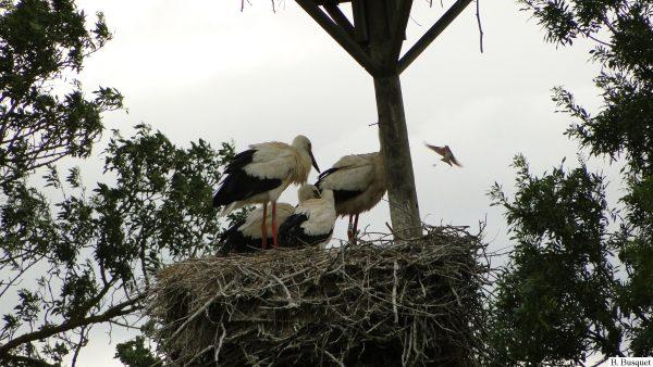 White storks in a huge nest
