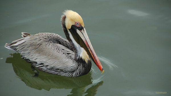 HD wallpaper with a pelican swimming.