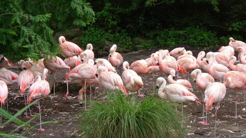 Pink American flamingos