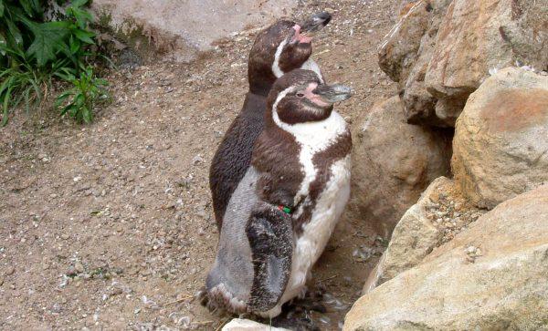 HD Wallpaper two penguins