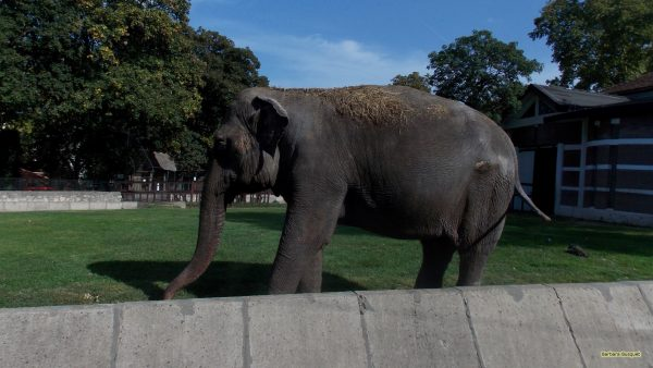 HD wallpaper elephant in Belgrade zoo.