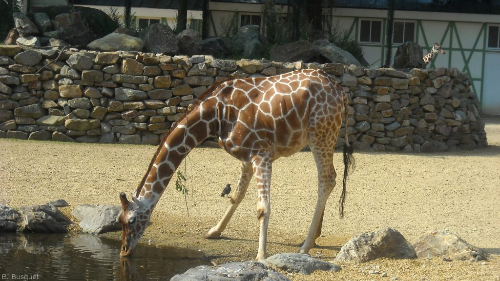 Giraffe drinks water