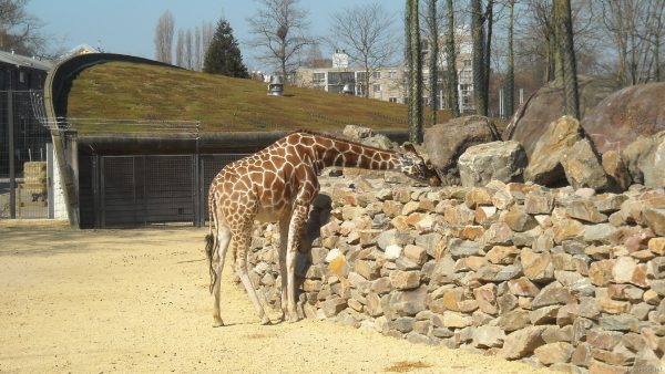 HD wallpaper giraffe in zoo
