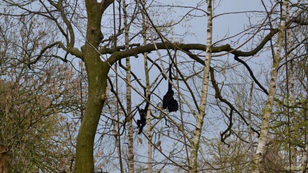 HD wallpaper monkeys in a tree