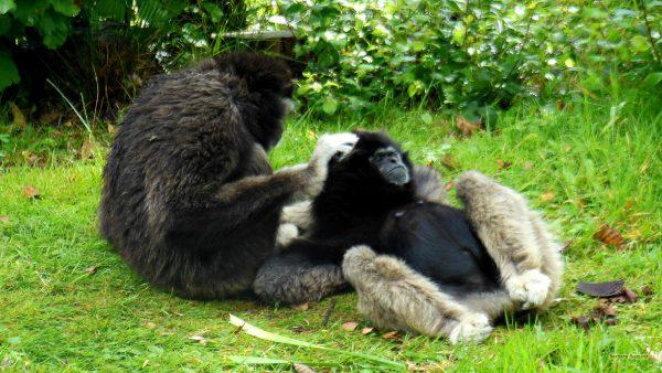 HD wallpaper monkeys relaxing in zoo.