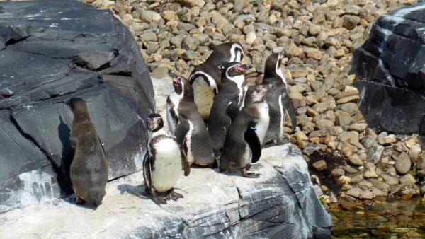 HD wallpaper penguins on rock
