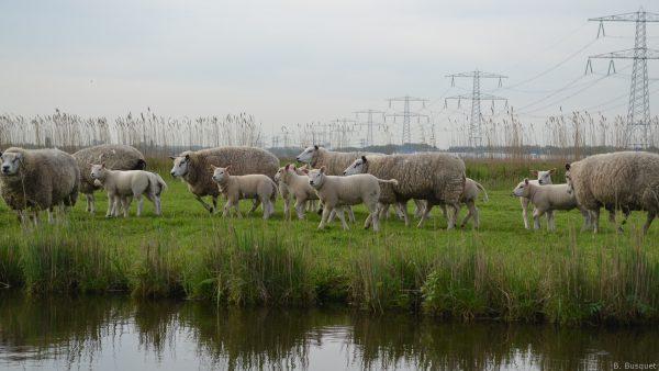 Lambs near water