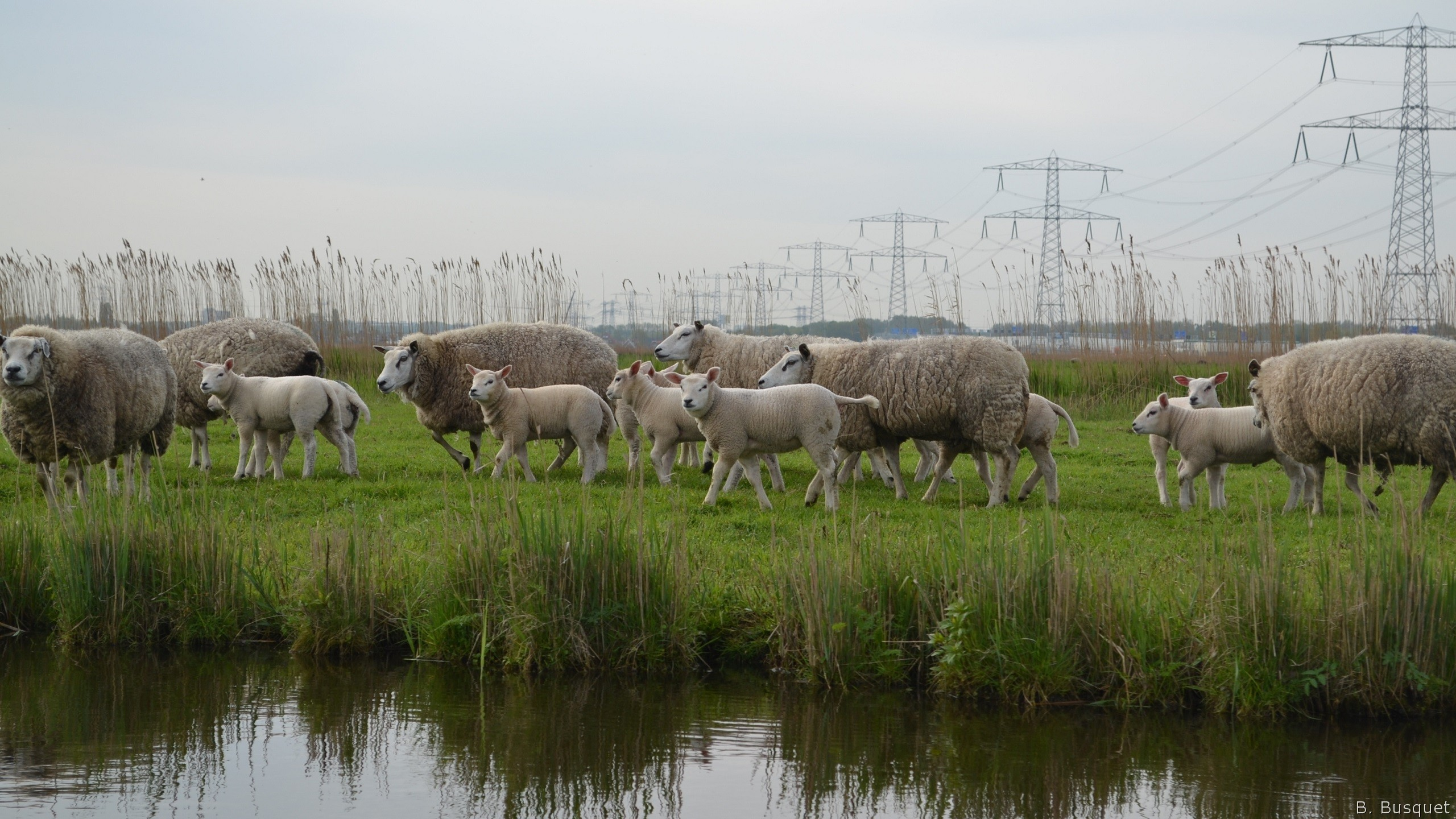 HD Sheep Wallpapers