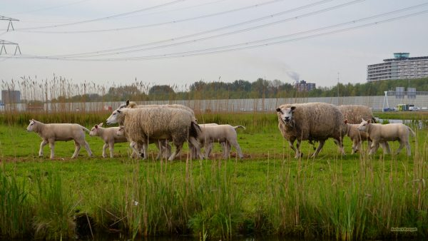 Sheep in a pasture.