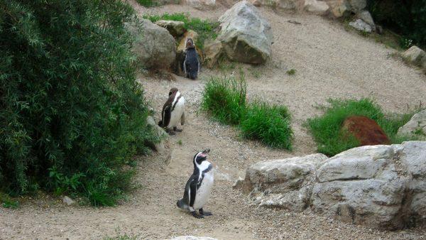HD wallpaper three penguins