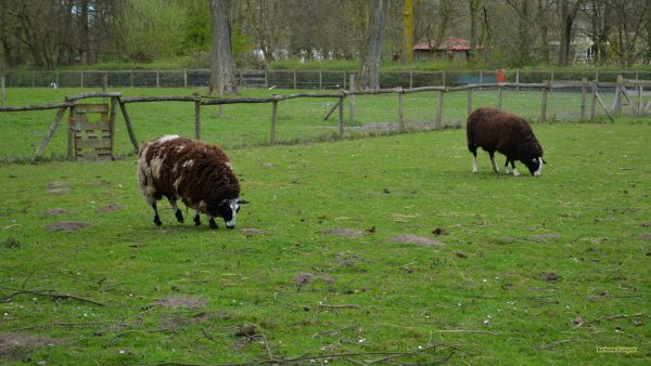 Two brown sheep.