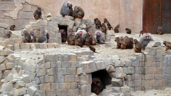 HD wallpaper with baboons