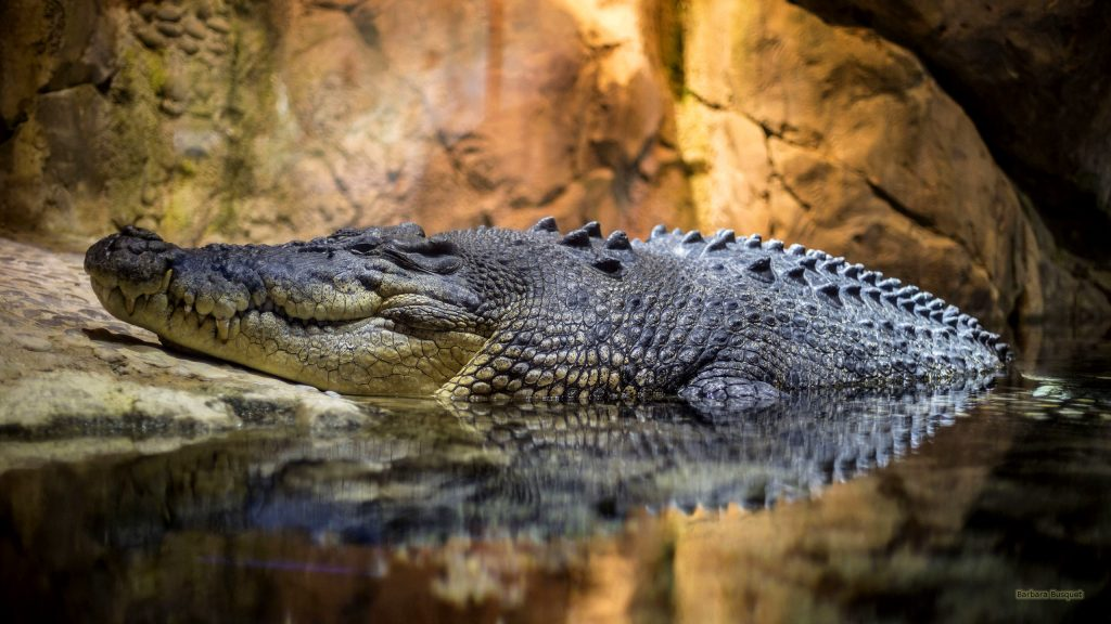 HD wallpaper with a crocodile half in the water.