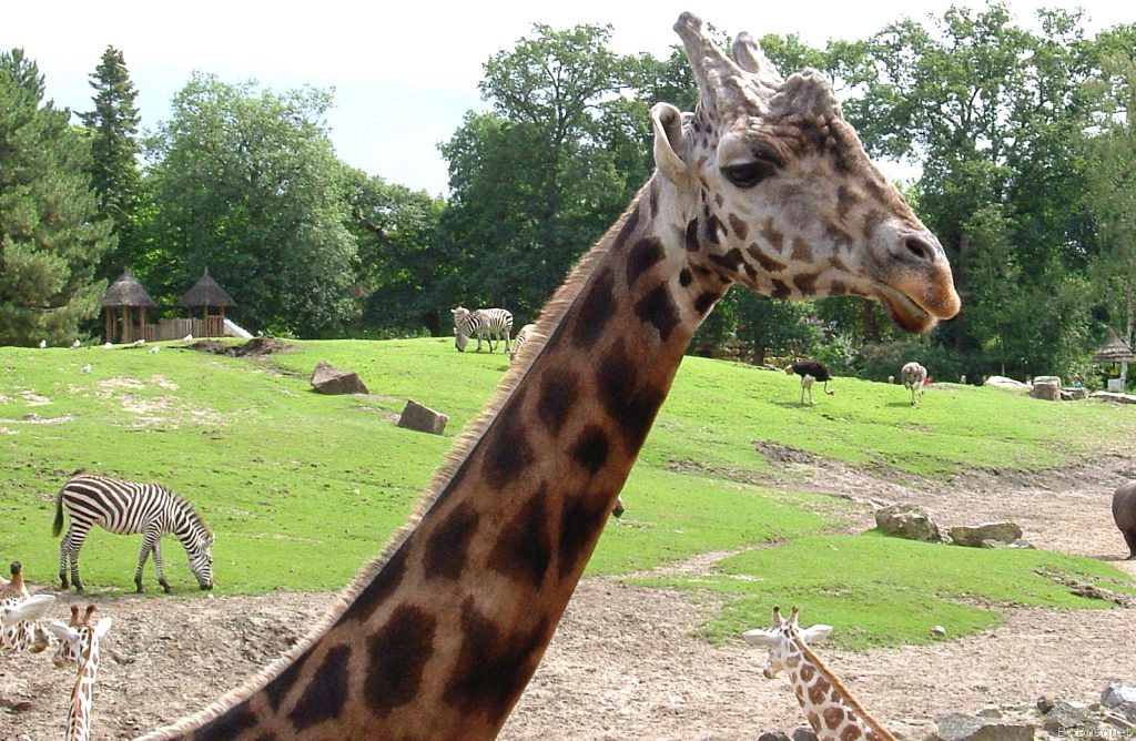 HD wallpaper with giraffe in zoo