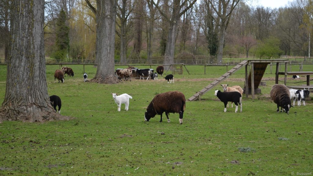 Grazing in a park with goats