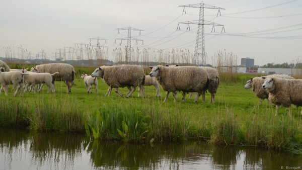 Sheep in the meadows near water