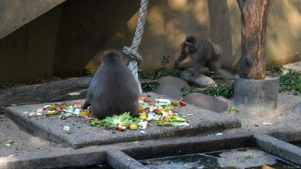 Monkeys and a pile of fruit