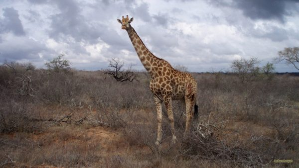 A giraffe in south africa.