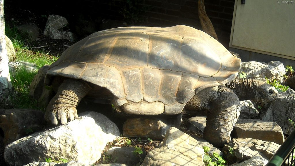 Galápagos giant tortoise in a zoo