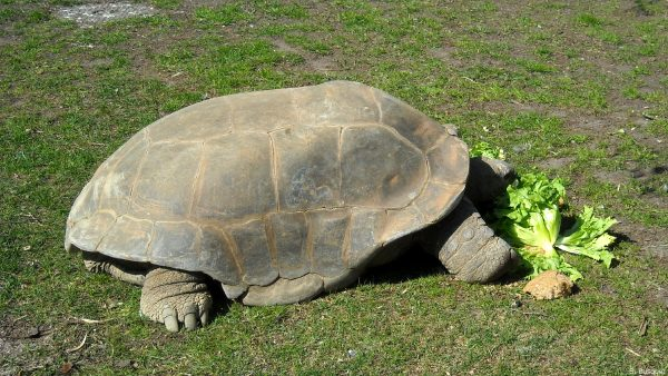 HD wallpaper Galápagos giant tortoise
