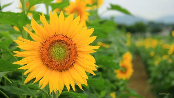 HD wallpaper with sunflower in a sunflower field.