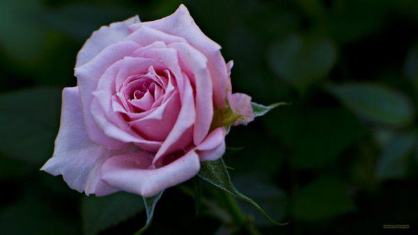 HD wallpaper pink rose.