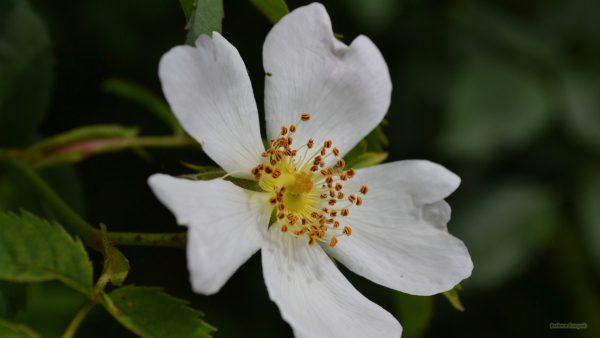 HD wallpaper white wild rose.