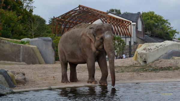 Elephant in Artis zoo
