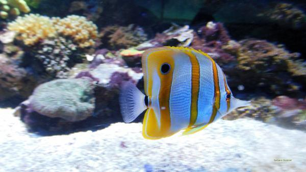 Yellow white Tropical fish wallpaper