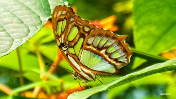Brown green butterfly on a leaf
