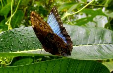 HD wallpaper Morpho peleides butterfly on leaf