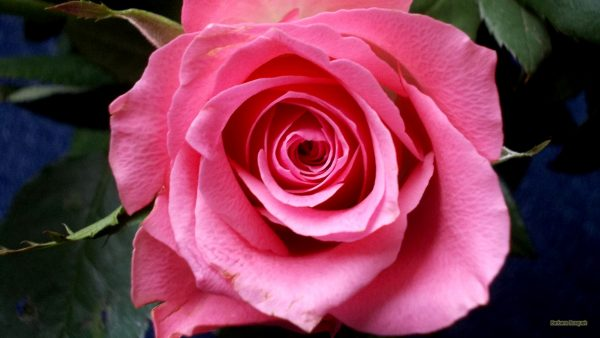 HD wallpaper pink rose with leaves