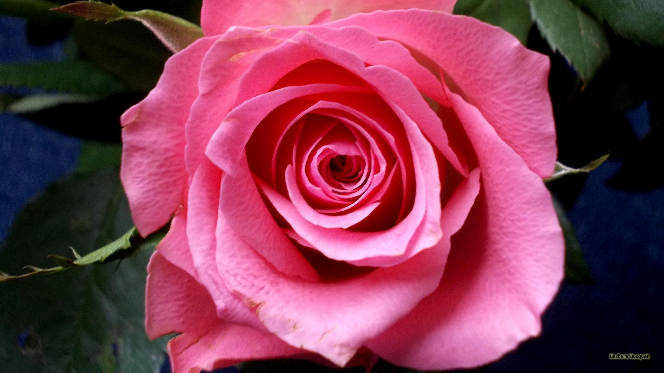 Beautiful Roses Wallpapers