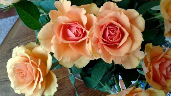 HD wallpaper salmon roses