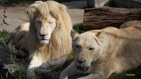 White lions after mating