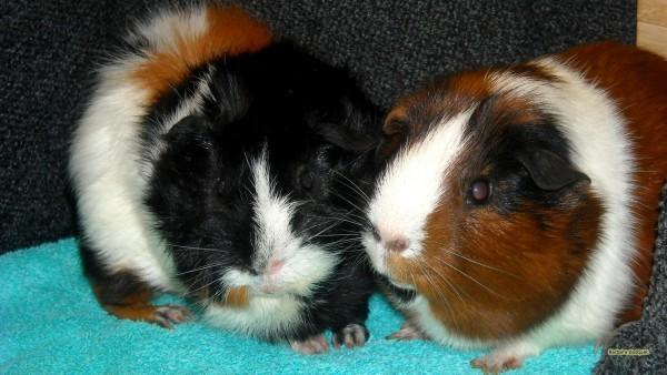 tricolor guinea pigs wallpaper