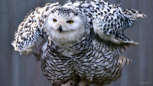 Harry Potter owl wallpaper