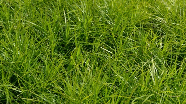 Green grass desktop background