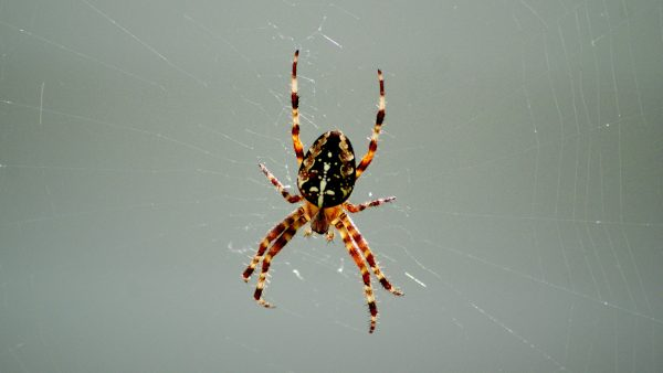 HD wallpaper with a spider in her web.