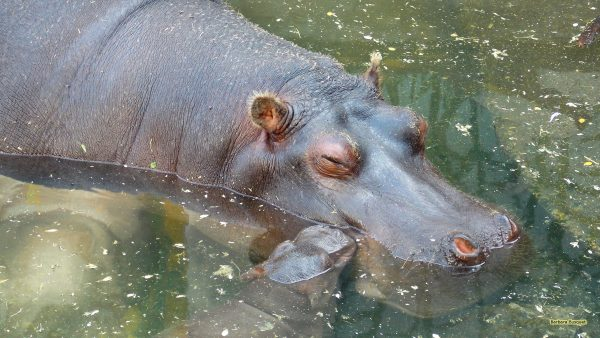 HD wallpaper Hippo mother and young.