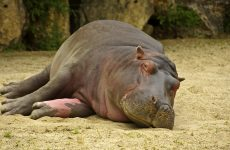 HD Hippo Wallpapers