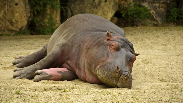 HD wallpaper with a hippo lying in the sand.