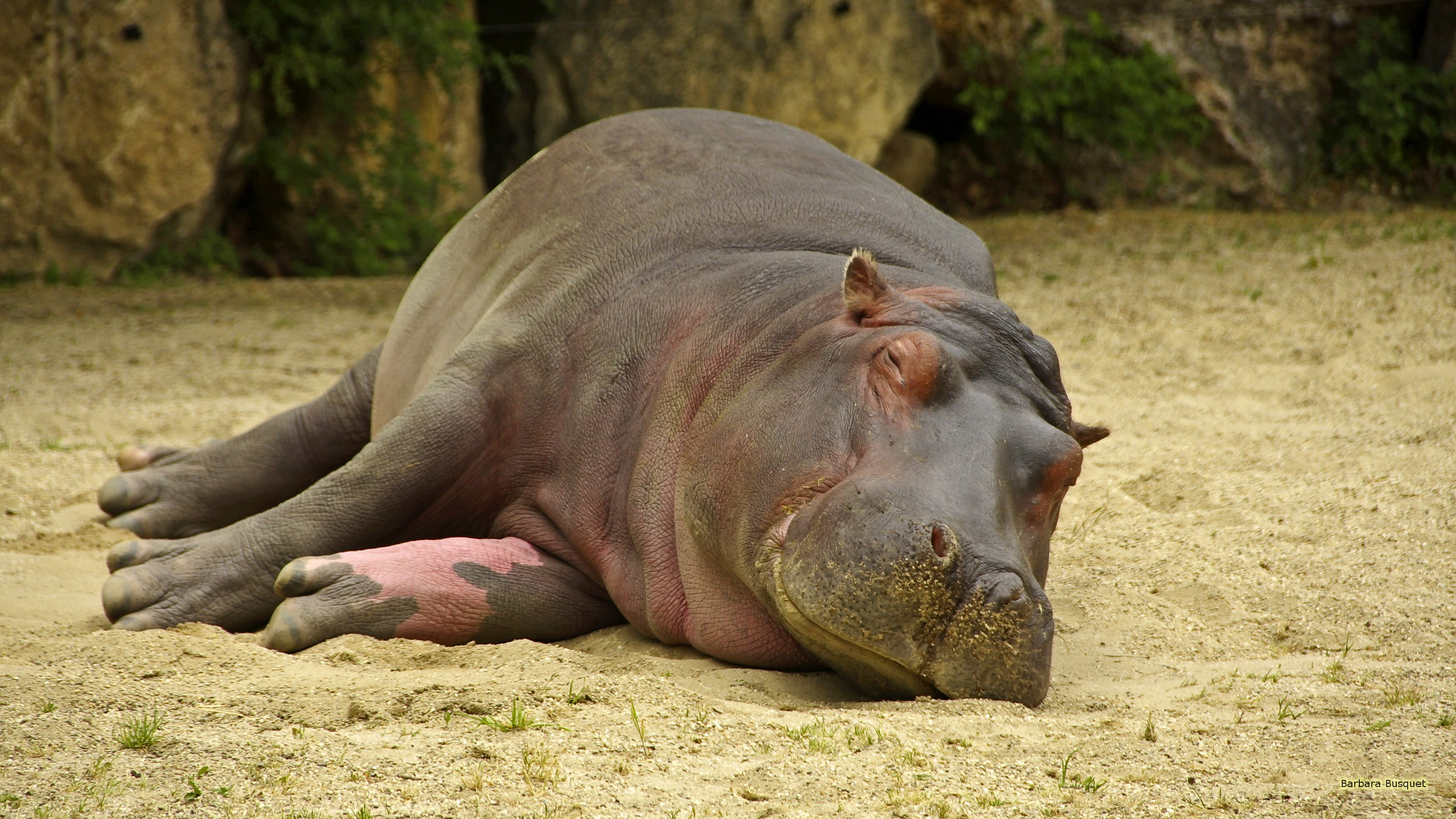 Hippo Desktop Backgrounds Barbaras Hd Wallpapers