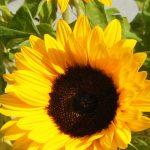 Sunflower close-up wallpaper